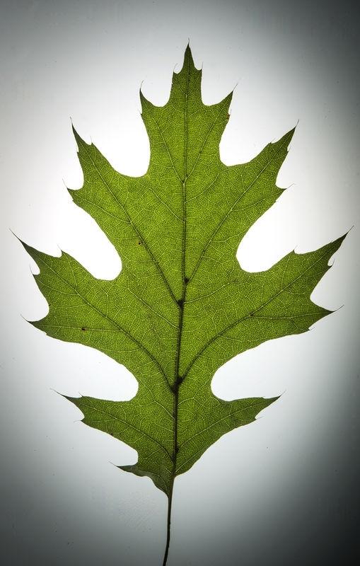 Shumart Oak