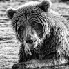 Converting Color Wildlife Images to Black & White