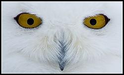 snowy owl EYES (bradorr)
