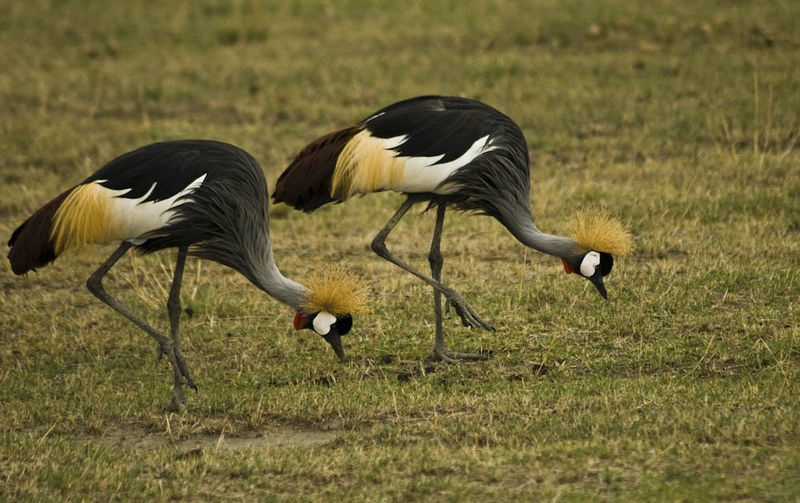 Grey Crowned Cranes, in step