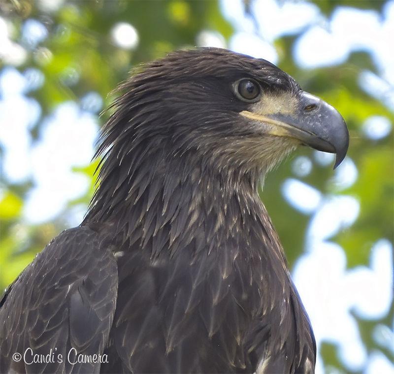Eagle_Ft_Donelson_6.jpg