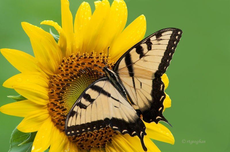 Flowers_Sunflower_Swallowtail_0119SM