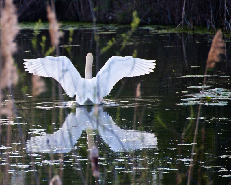 Swan's Wings by Joe Gazzarato
