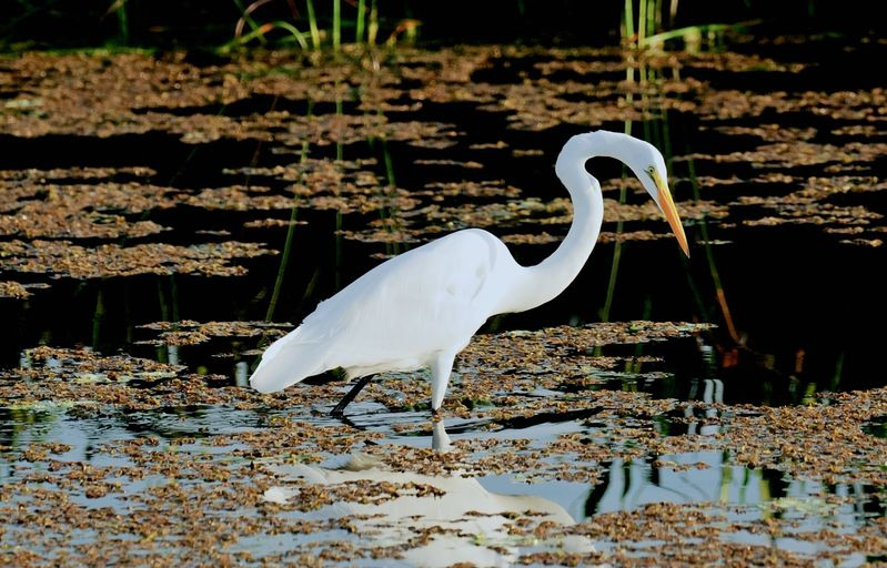 Ardea alba,Great Egret@ 340mm