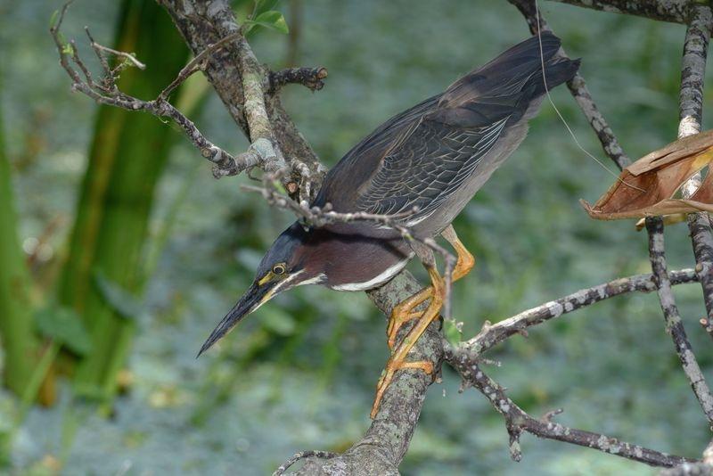 Butorides virescent-Green Heron