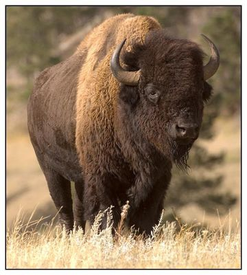 South Dakota Bison