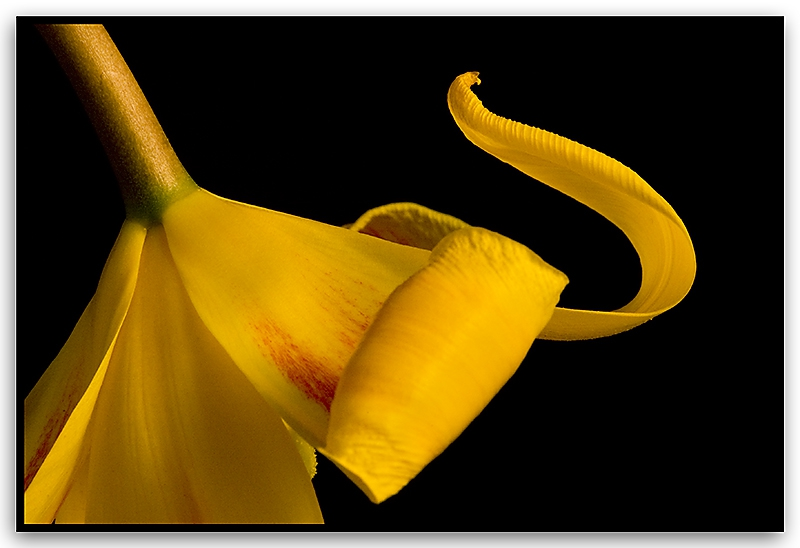 Tulip - Cobra