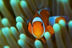 Winner 1st Quarter Underwater Clownfish, Dumaguete, Philippines  D2xs, 105mm, 1/250s, f/22, ISO-100,  (Note: 1st Quarter was a tie - so we have two winners.)
