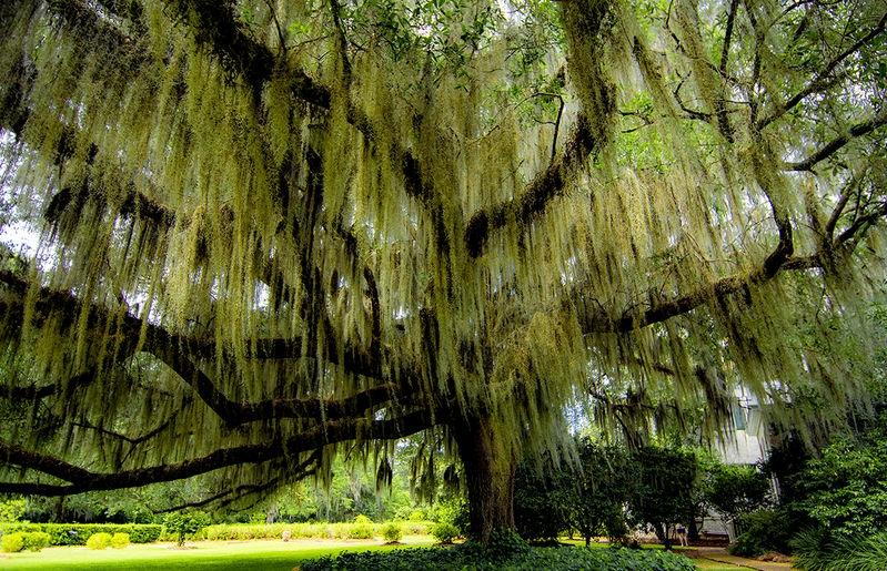 Moss Laden Oak
