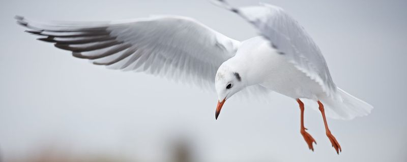 Black Headed Gull (1)