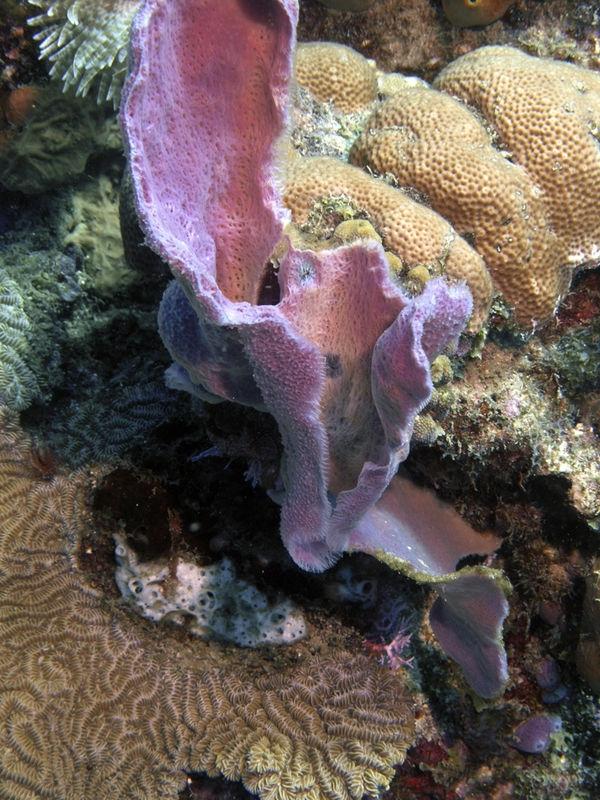 Coral, Dominique