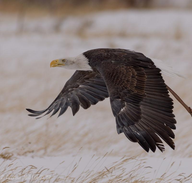Harris Hawk flying towards me