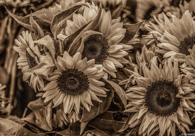 Harvested Not so Sunflowers