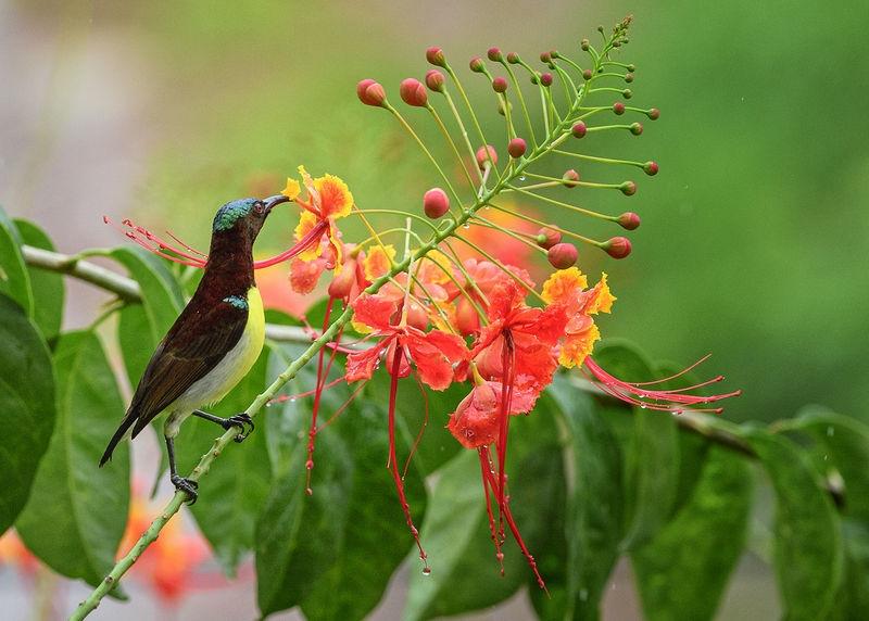 and the Male Purple-rumped Sunbird