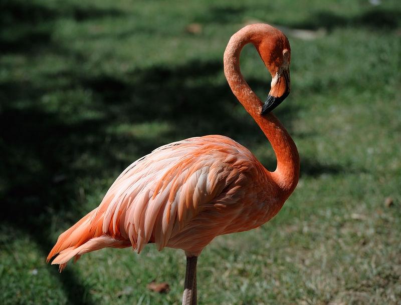 Flamingo in the Asdastra Gardens - Nassau Bahama's