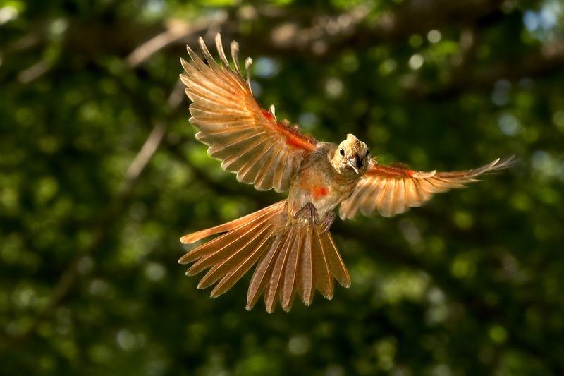 Immature Female Cardinal in Flight