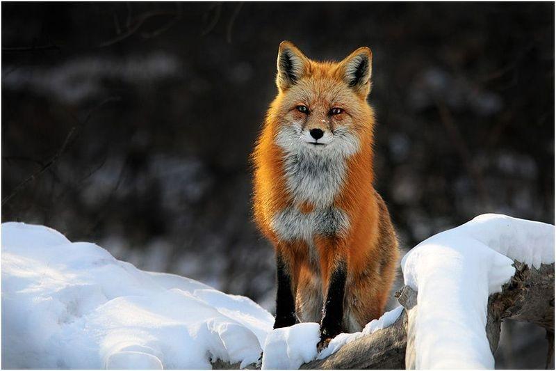 Red Fox Peering Over Snow