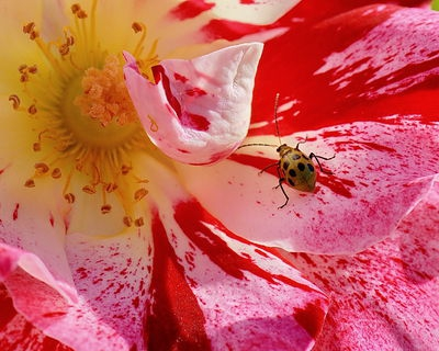 Spotted Cucumber Beetle on a Rose