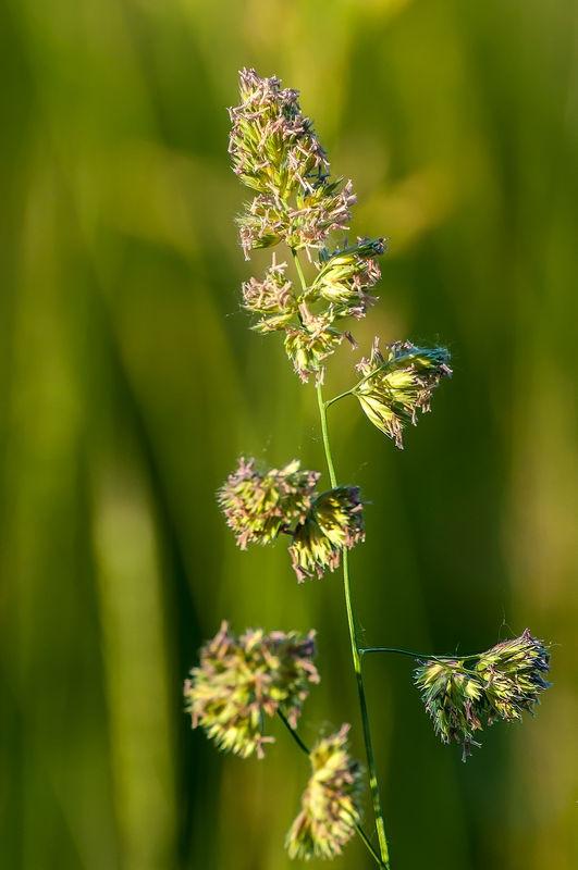Grass Blossom