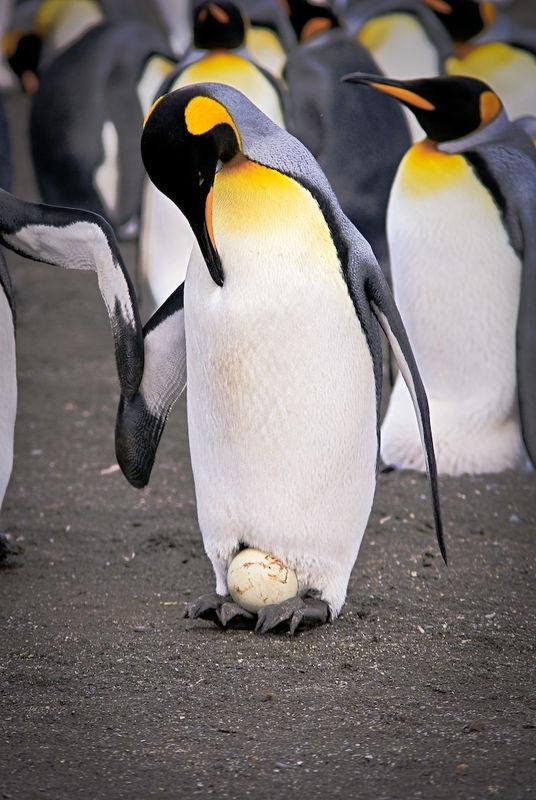 King penguin carefully guarding the egg