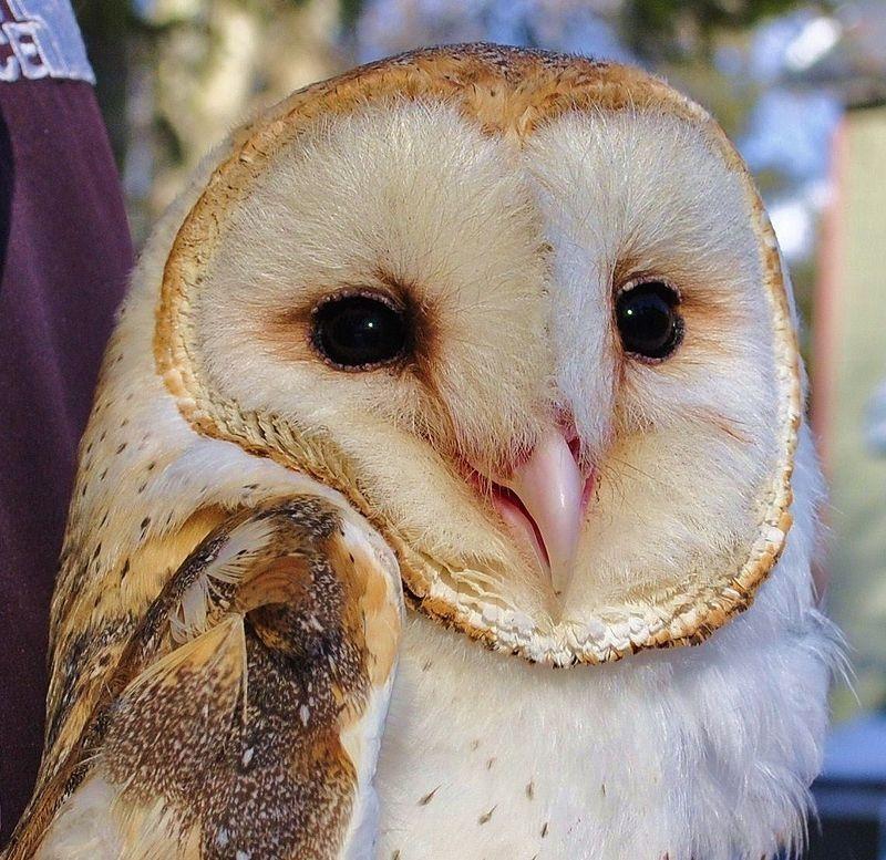 Barn Owl - Hob Goblin
