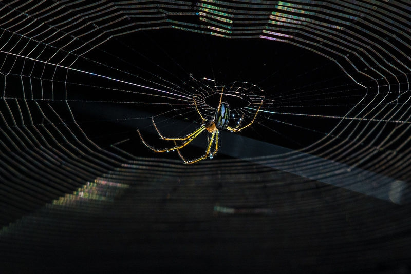 Backlit Spider