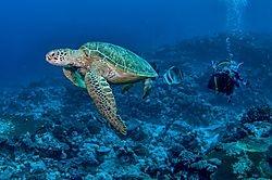 Cocos Sea Turtle (Marjani)