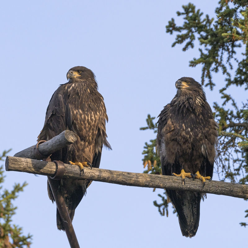 two_baby_Eagles_in_Whitehorse.jpg