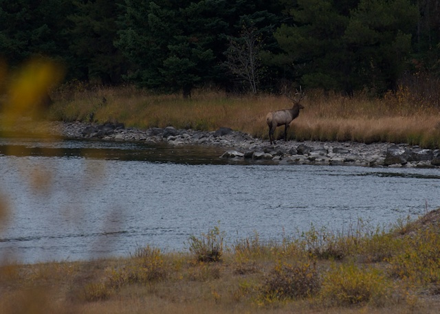 Elk crossing at River