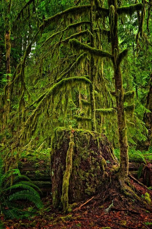Olympic NP - Rainforest