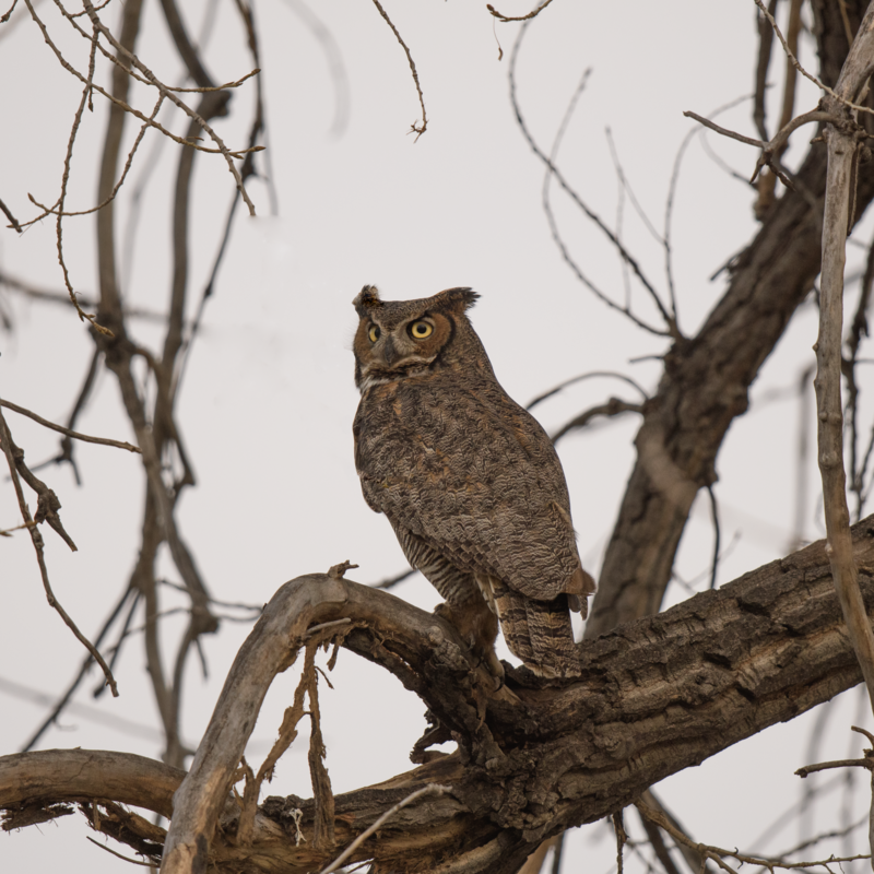 Great Horn Owl in a Cottonwood Tree