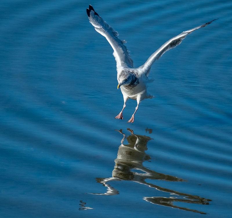 Seagull_Landing